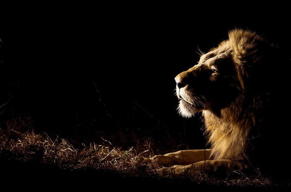 Catch amazing glimpses of lion on a night game drive adventure.