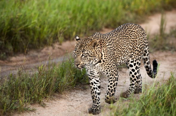 Sabi Sands is home to the gorgeous leopard family.