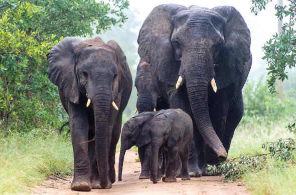 Elephant family in Sabi Sands Game Reserve.