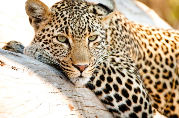 Leopard conservation is an initiative in Sabi Sand Game Reserve.