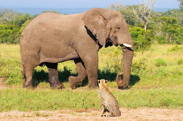 An Elephant and a Cheetah in Sabi Sands Game Reserve.
